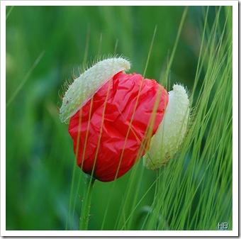Sich öffnende Mohnblüte © H. Brune