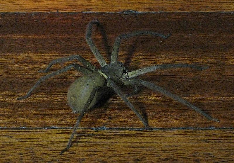 3 inch (8 centimeter) spider