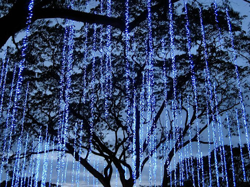 lights hanging from acacia trees