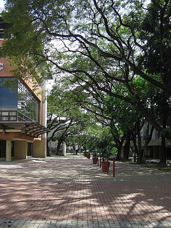 road with paving stones and large acacia trees in the Ateneo de Manila University