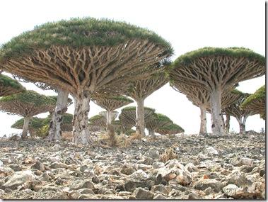 PLANTWERKZ-DRACENA TREE