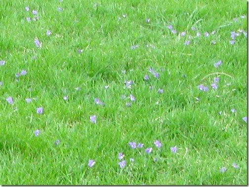 purple-fields