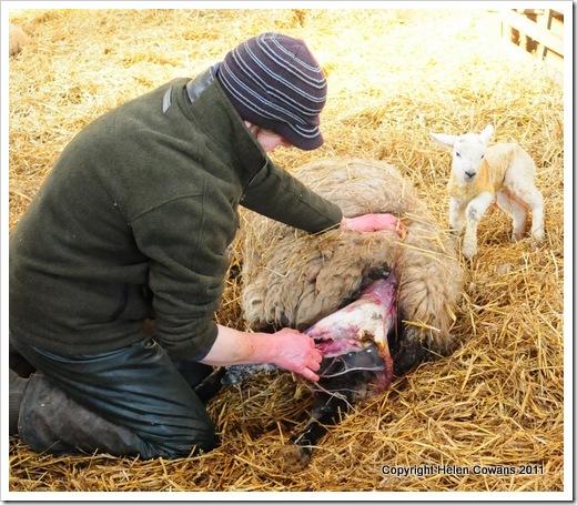 Sheep 316