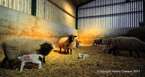 [Sheep 354[2].jpg]