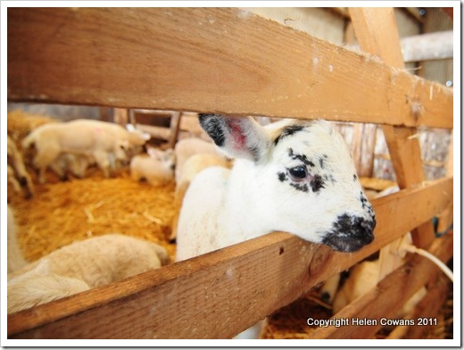 Sheep 383