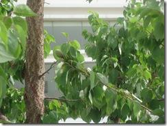 2010年5月の杏の実