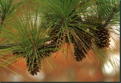 Pine cones 005