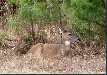 Deer @ McAlester 009