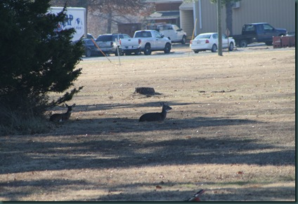 Geese and turkey 004