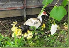 little ducks 4 for web