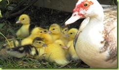 little ducks 5 for web
