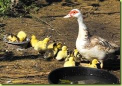 little ducks 6 for web