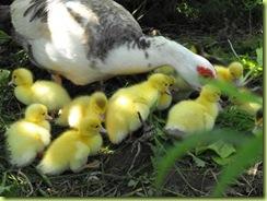 little ducks 9 for web