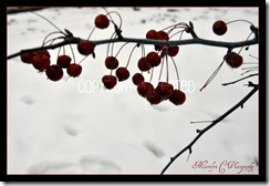 A Splash of Red in Winter CP