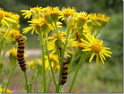 20060713 Ragwort & cinnabar larvae 2