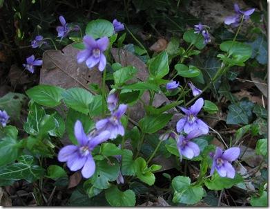 20100413 Viola reichenbachiana