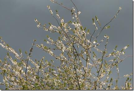 20100503 Prunus avium South View 5