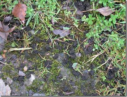 20081104 BHW Cpt 3c Collema lichen 008