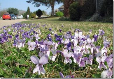 20090321 Viola odorata Sedlescombe 004