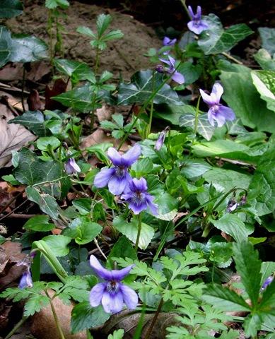 [20090405 KWR early dog-violet 020[5].jpg]