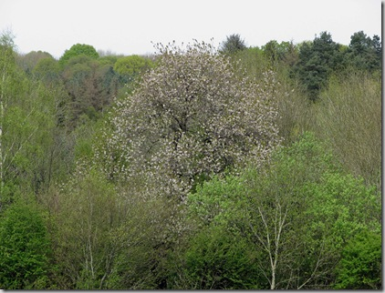 20080503 Brede High Woods Austford Farm cherry