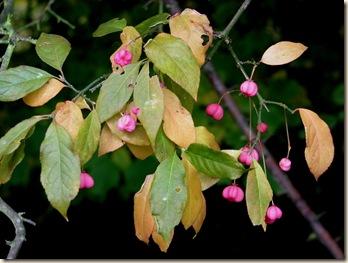 20101029 BHW spindle berries