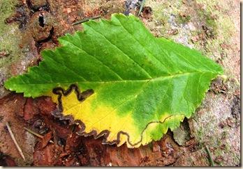20101029 BHW elm leaf miner 1