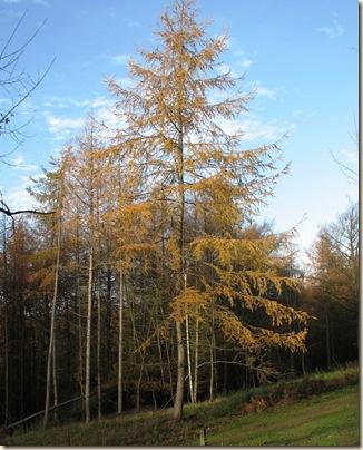 20101119 BHW Larix in autumn  030