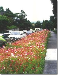 Poppies_Parking_Strip_300