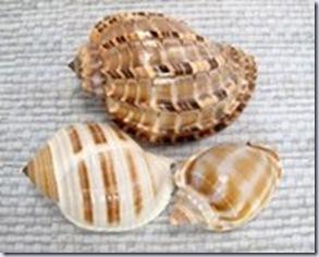 shells pixiesupplies