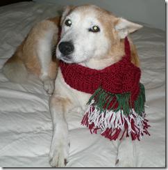 daisy in christmas doggy scarf