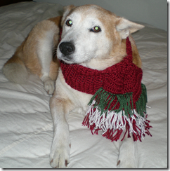 daisy in christmas doggy scarf
