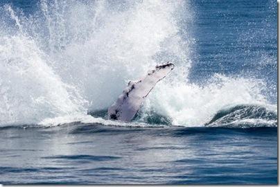 Baleias Jubarte - Samaná - República Dominicana 5