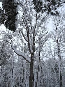 登ったのはこの木!
