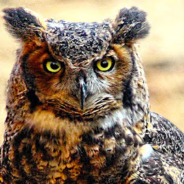 Great Horned Owl by John Larson - Animals Birds