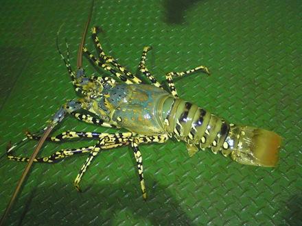 Lobster~!! fresh giler..n dimasak sambal.Sangat sedaaaapppp~~~