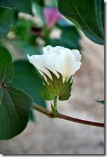 cotton elementary 0810 (9)
