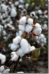 cotton time 091010 (6)