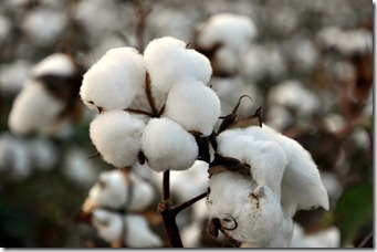 cotton time 091010 (11)