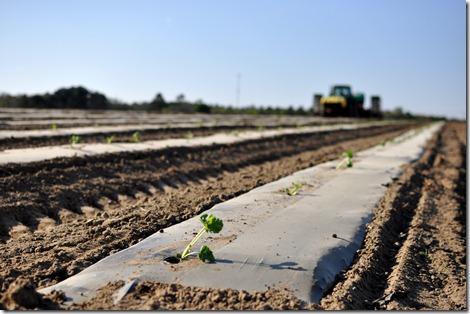 transplanting watermelons 0311 (54)