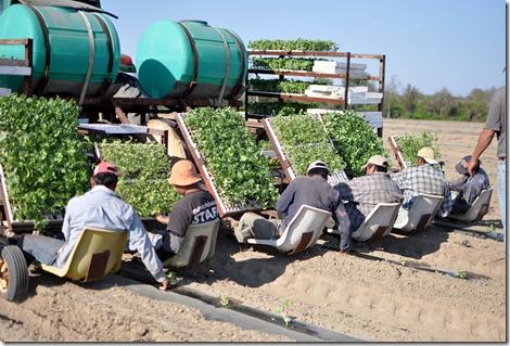 transplanting watermelons 0311 (15)