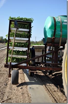 transplanting watermelons 0311 (22)