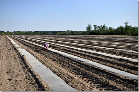 transplanting watermelons 0311 (26)