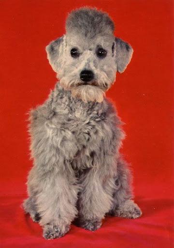 Cartes Postales Pop et  Kitsch des années 50, 70 et 70 Poodles / Caniches
