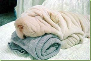 sharpei_towel-1