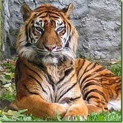 Sumatran_tiger_1809_19141586_0_0_7010293_300