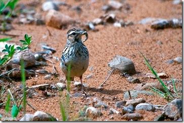 El nido lo tiene escondido en matorrales a ras de suelo.