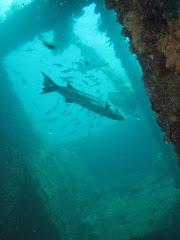 Great Barracuda in US Liberty wreck