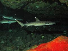 Sharks at Gili Tepekong