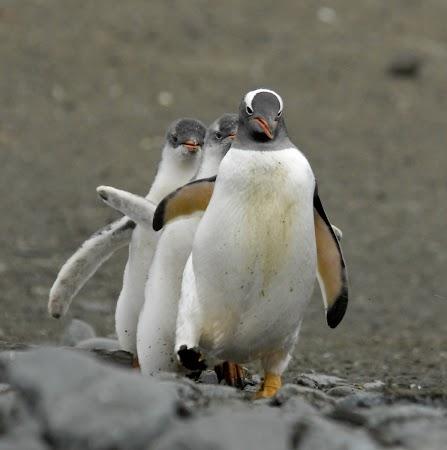Imagini Antarctica: Pinguini